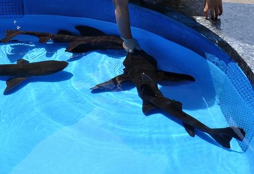 油壺マリンパーク-サメ