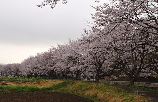 利保町桜1