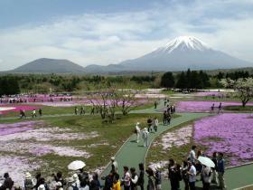100509芝桜1