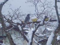 雪の中でヒヨドリH220212.jpg