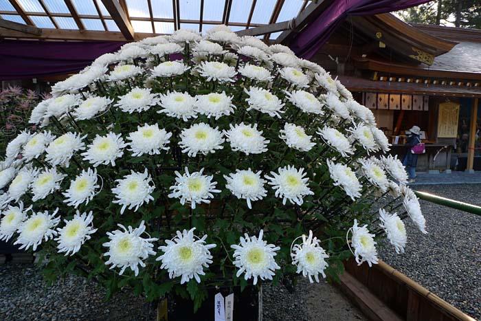 菊花展 にいがた 弥彦 神社