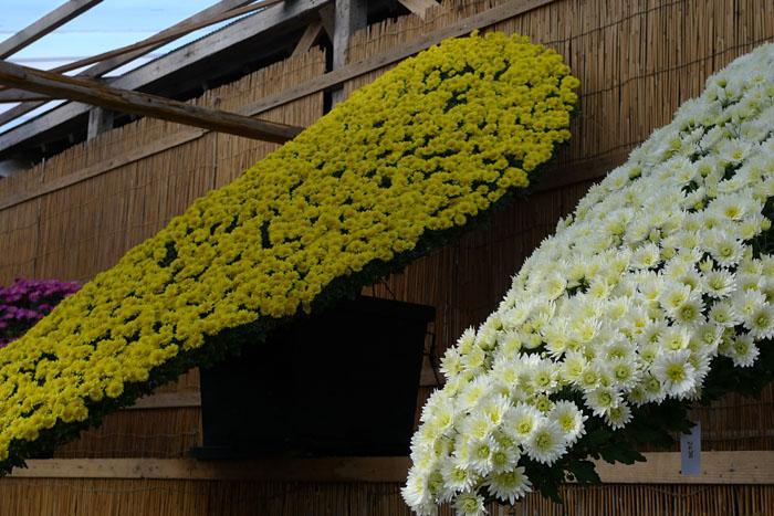 新潟 弥彦神社 菊花展