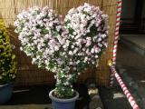 湯島天神菊祭1