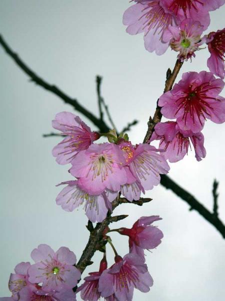 八重岳曇り空の桜
