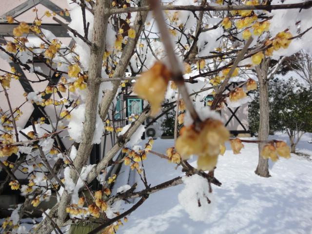 雪の中の蝋梅