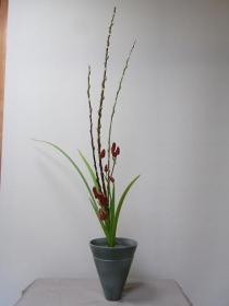 赤目柳・オクラレウカ・トウガラシ
