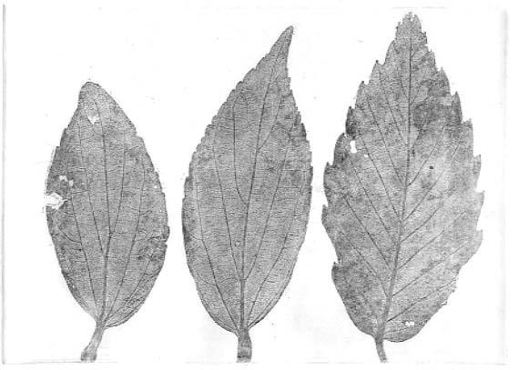 葉っぱ(銅版画)