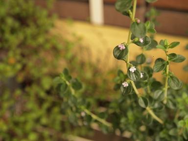 レモンタイムの花