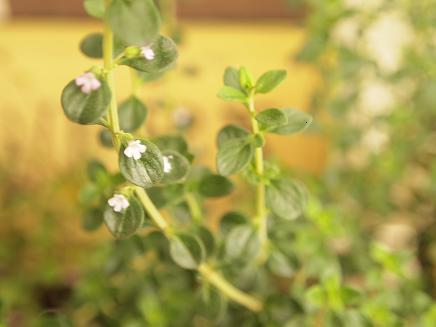 レモンタイムの花 2