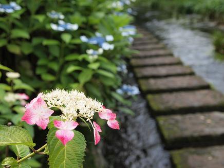 源兵衛川の紫陽花