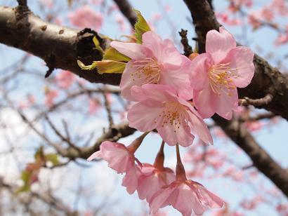 河津桜も満開になりました!