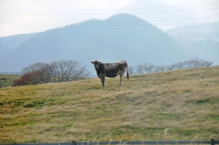 霧降高原牛