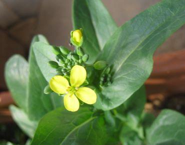 小松菜の菜の花が美味しかったです