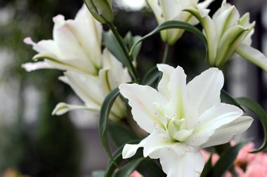 ミスマルコ(八重咲きのユリ)
