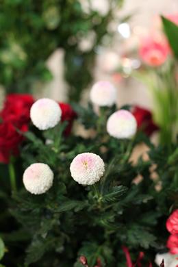 ピンポンマム(ポンポン菊)
