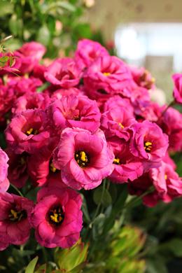 トルコキキョウ(赤紫)