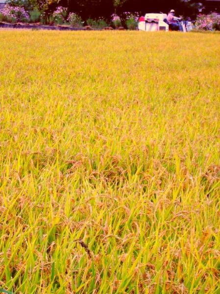 晩生米収穫