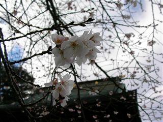 0912竹駒神社桜4
