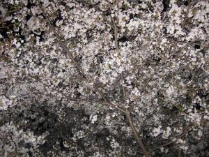 今夜は寒いけど夜桜!