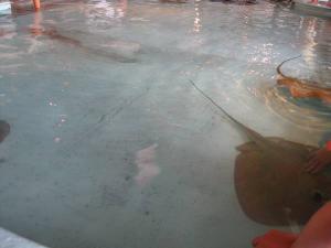 サメとエイのタッチプール