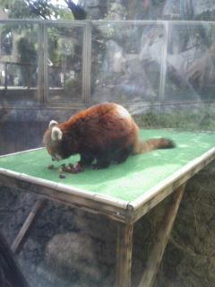 王子動物公園 レッサーパンダ