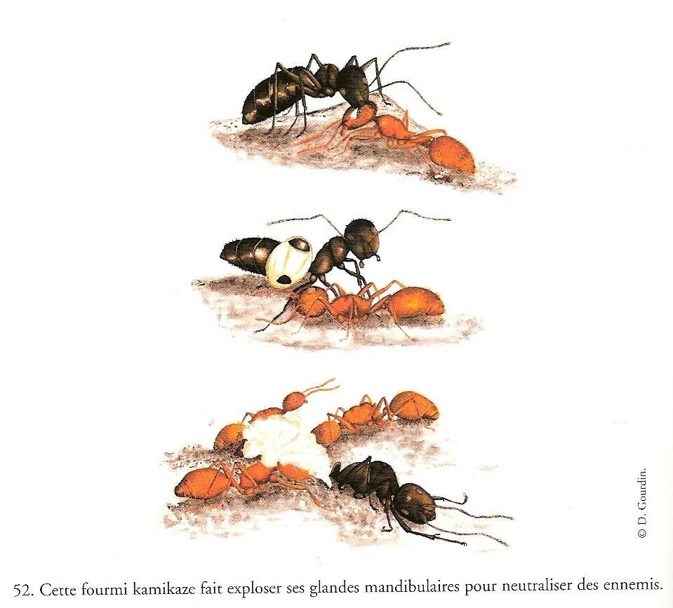 CamponotusSaun.jpg