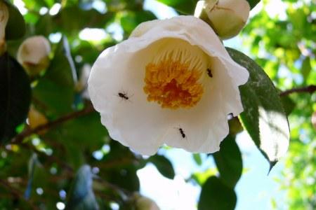 シロバナヤブツバキ ( 白花藪椿 )